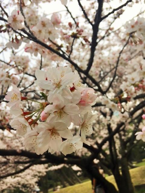 hamarikyu garden sakura