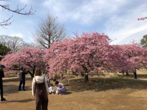 cherry blossoms tokyo bike tour