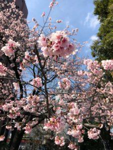 cherry blossom tokyo bike tour